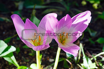 Two crocus flowers  close-up