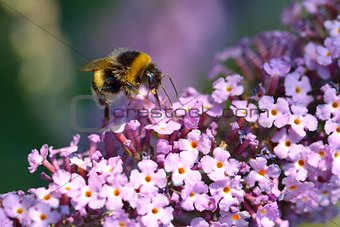 Bumblebee on Lilac