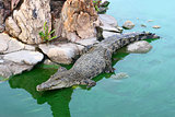 Crocodile in Green Swamp
