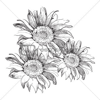Sketch sunflowers on white background