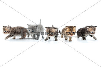 Group of kittens walking towards together. Studio shot. Isolated