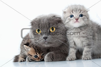 family portrait of Scottish fold ear mother cat with her kittens