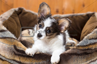 Papillon Puppy in bed
