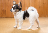 Papillon Puppy standing on floor