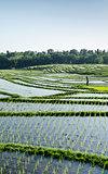 terraced rice fields landscape in bali, indonesia