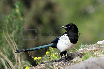 Magpie looking back