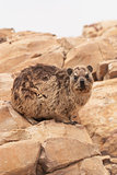 Dassie