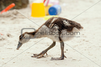 Egyptian gosling on beach