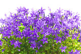closeup flowers and leaves campanula