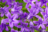 closeup flowers campanula