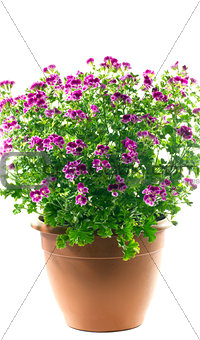 geranium japanese in a pot on a white background