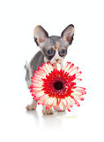 Canadian sphynx kitten with African daisy flower in her mouth