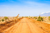 Free Giraffe in Kenya