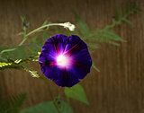 Deep purple convolvulus