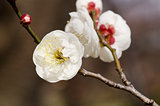 Plum flowers