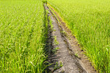 Path in the rice field