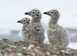 Dominican gull chicks.