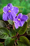 African Violet (Saintpaulia) flower 