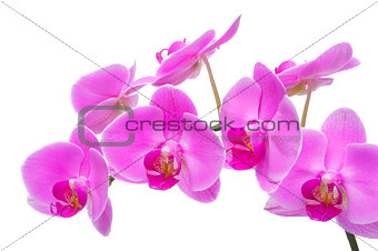 orchid flower