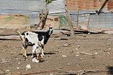A Typical Goat Pen in Antigua Barbuda