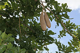 African Sausage Tree With Fruit