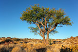 African Acacia tree