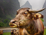 The Guilin landscape pictures - Guilin Li River. Buffalo home.