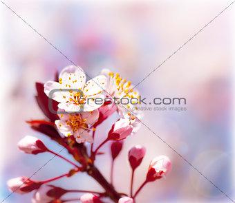 Blooming fruit tree at spring