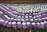 ornamental cabbage bed