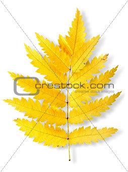 Autumn leaf of a mountain ash