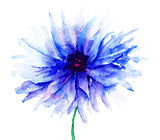 Blue Colored Cornflowers