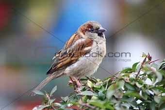 beautiful male sparrow