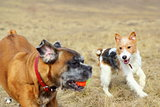 fox terrier playing with boxer