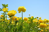 Ranunculus Flowers and Sky