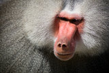 Baboon