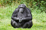 Chimpanzee ape
