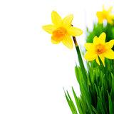 daffodils in green grass