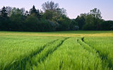 Beautiful field of fresh growth agrucultiral wheat