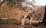 Fallow deer buck and doe in tender moment in forest landscape