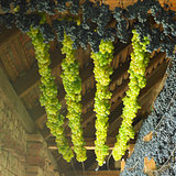 grapes drying for straw wine, Biza Winery, Cejkovice, Czech Repu