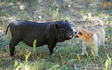liitle piggy and chihuahua
