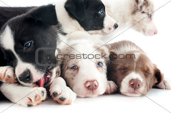 puppies border collie