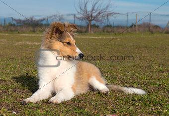 puppy shetland