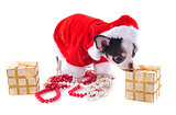 santa claus chihuahua