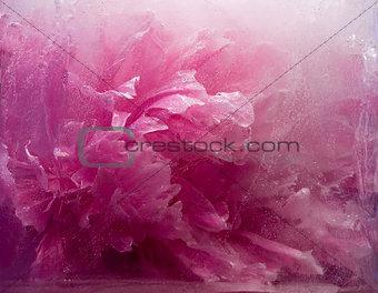 Frozen   pink peony flower