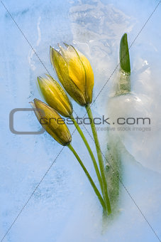 Frozen   yellow tulip flower