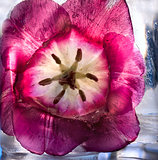  Frozen   purple tulip flower 