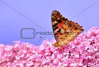Painted Lady on Lilac flower