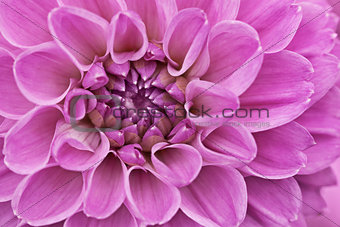 Flower purple chrysanthemum close up