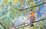 Hoopoe (Upupa epops)